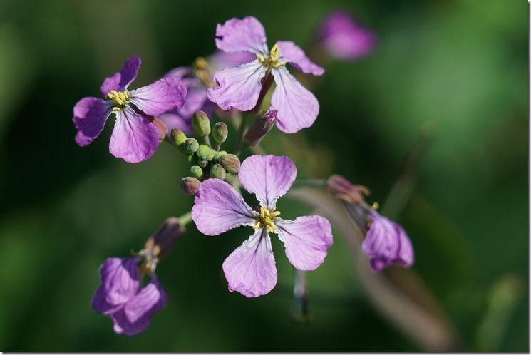 anacortes purple flower 062118 00000