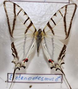 E. STENODESMUS.JPG