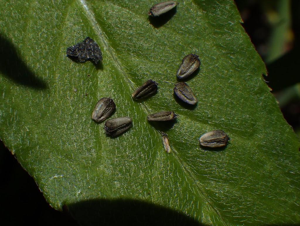 タカサブロウの痩果2