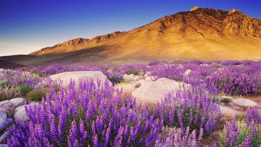 Inyo Bush Lupin, Sierra Nevada Range, California.jpg