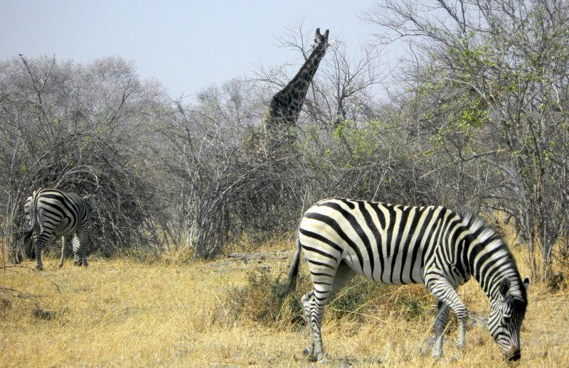 Giraffes and Zebra in Savuti