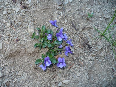 Alpine Speedwell ...or some sort of Violet????