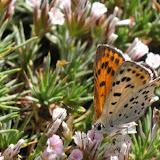 Lycaena alpherakii zhdankoi CHURKIN, 2002, femelle. Kuh-i-Lal, 3600 m, 16 juillet 2007. Photo : J. Michel
