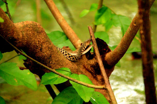 A snake in the tree at Ratargul Swamp Forest
