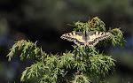 Svalehale, Papilio machaon.jpg