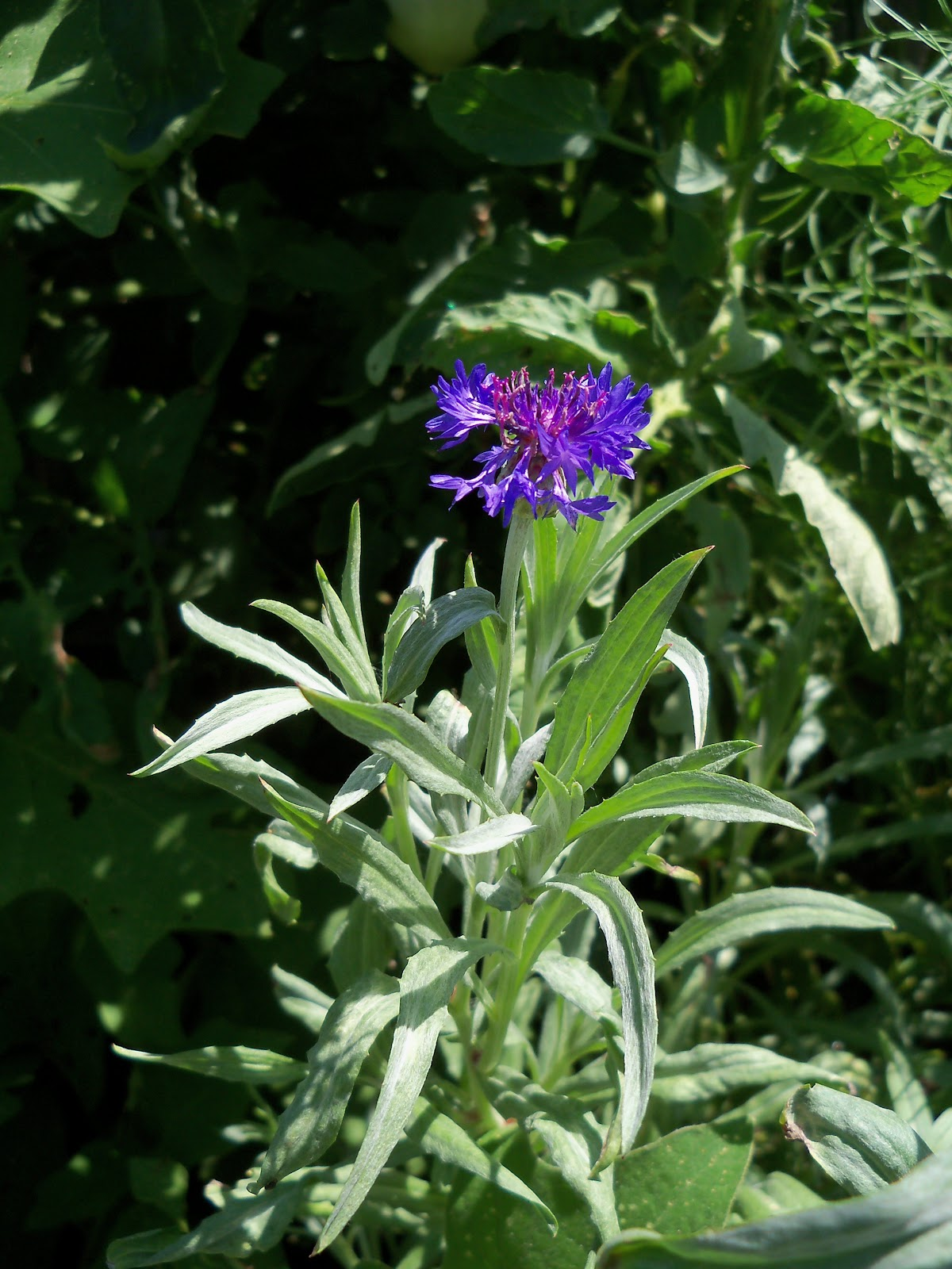 Gardening 2010, Part Three - 101_4421.JPG
