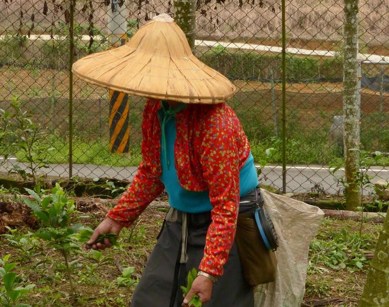 Puli, Nantou county, cueillette de thé - P1050592.JPG