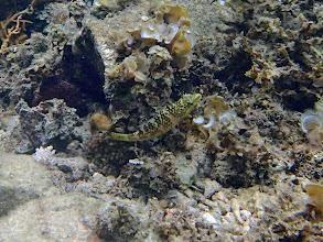 Photo: Oxycheilinus rhodochrous (Thick-stripe Maori Wrasse), Lusong Island, Coral Garden Reef, Palawan, Philippines.