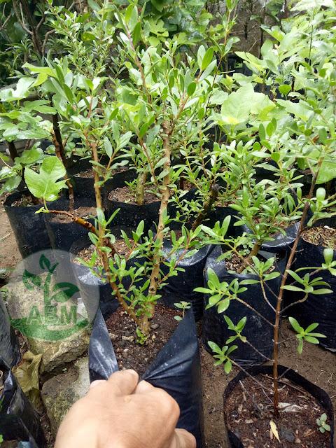 Bibit tanaman Stigi/Santigi