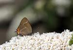 Det hvide W på sommerfuglebusk.jpg