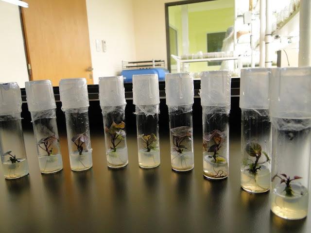 cultivo de meristemas para obtencion de batata libre de virus - 0013.JPG