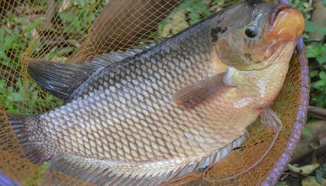 Ciri Ciri Ikan Gurame Yang Sedang Stress Sukses