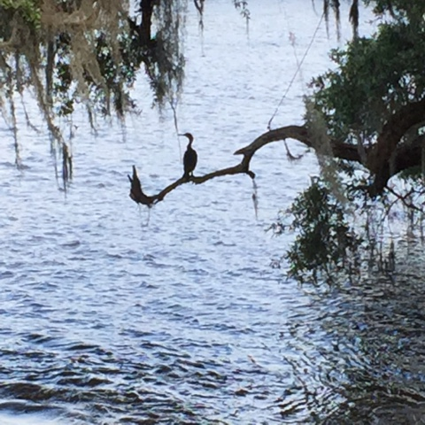 Magnolia Plantation and Garden, Shore Bird