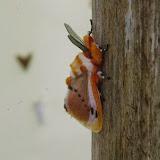Megalopygidae : Trosia nigropunctigera Fletcher, 1982. Mount Totumas, 1900 m (Chiriquí, Panamá), 21 octobre 2014. Photo : J.-M. Gayman