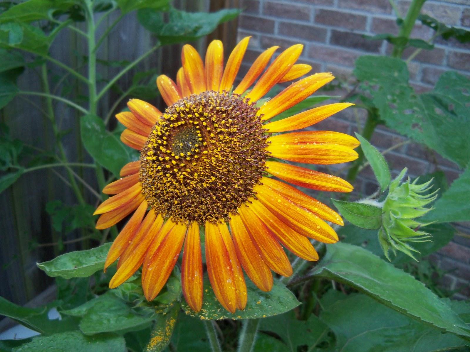 Gardening 2010, Part Three - 101_3987.JPG