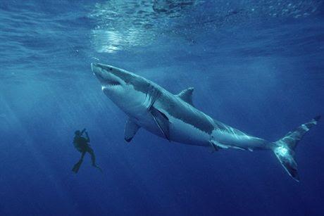 巨大ホオジロザメ