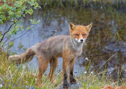 Fox, northern Norway.  Photographer Benny Høynes