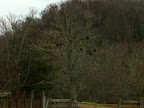 Black vultures in Green Bank January 14.