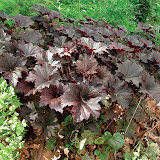"Heuchera villosa 18"" 45 tall and wide Гейхара - многолетник семейства камнеломковых. Другие виды и сорта: 'Amber Wave', 'Apple Blossom', 'Can-Can', 'Caramel'(Карамель), 'Cascade Dawn', 'Chocolate Ruffles', 'Coral Cloud', 'Feuerregen', 'Firebird', 'Firefly', 'Fireworks', 'Gloire d'Orléans', 'Gracillima', 'Green Ivory', 'Greenfinch', 'Huntsman', 'Hyperion', 'Kiki', 'Mint Frost', 'Mother of Pearl', 'Obsidium', 'Pearl Drops', 'Pewter Moon', 'Pêche d'amour', 'Pluie de Feu', 'Plum Pudding', 'Pretty Polly', 'Prince R', 'Rachel', 'Rain of Fire', 'Red Spangles', 'Schneewittchen', 'Scintillation', 'Silver Scrolls', 'Snow Storm', 'Stormy Sea', 'Strawberry Cloud', 'Taff's Joy', 'Tiramisu'(Тирамису), 'White Cloud', 'Widar', 'Winter Red', alba 'Bridget Bloom', americana, x brizoides, 'Chartreuse', cylindrica 'Greenfinch', 'Hyperion', Dennis Davidson, Карамель, Капучино grossulariifolia, Leuchtkäfer, micrantha, 'Palace Purple'(Пурпурный замок), rubescens, sanguinea."
