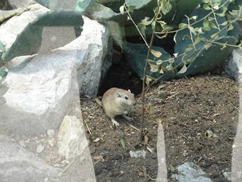 2018.08.21-009 rat des sables