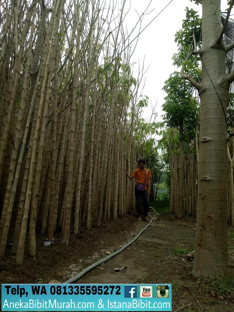 jual bibit pohon Tabebuya pink 3 M