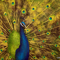 Peacock Feathers -Mixed media.jpg