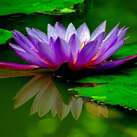 Waterlily  by Asif Bora - Flowers Flowers in the Wild (  )