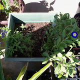 Gardening 2012 - 115_1553.JPG
