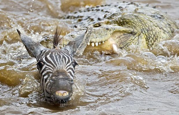 zebra smiles as it is attacked by crocodile