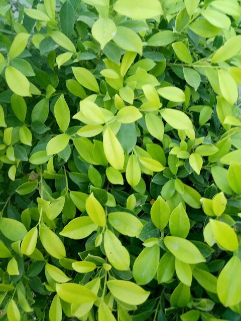 Ficus Tree Leaves HD Wallpaper