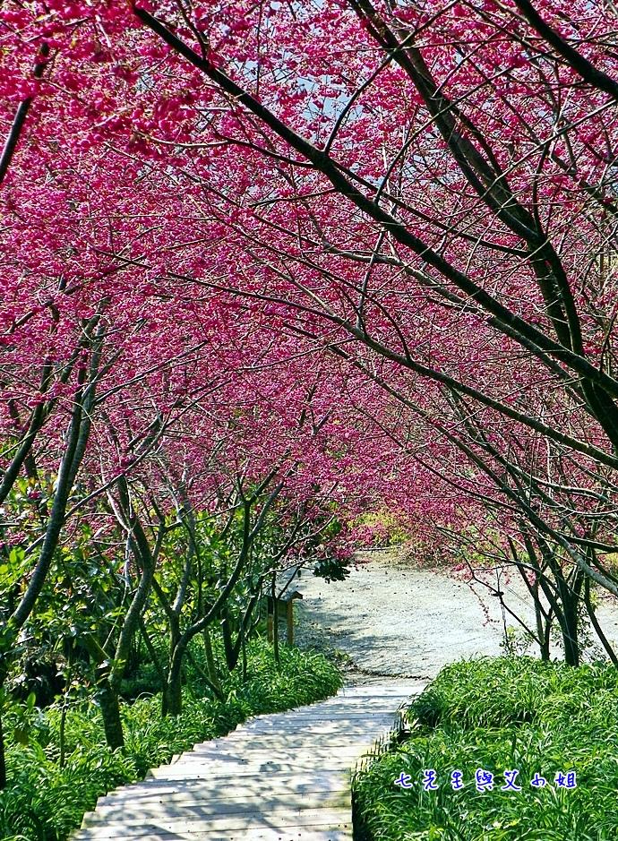 20 過年後的櫻花季