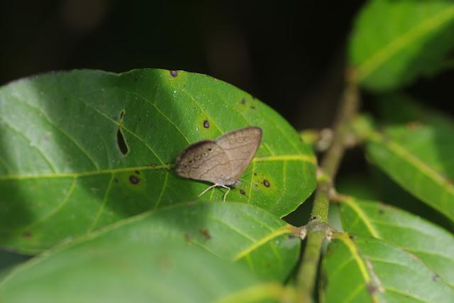Hermeuptychia hermes (Fabricius, 1775). Finca La Graciela, 239 m (Tamarindo, Casanare, Colombie), 5 novembre 2015. Photo : J.-M. Gayman