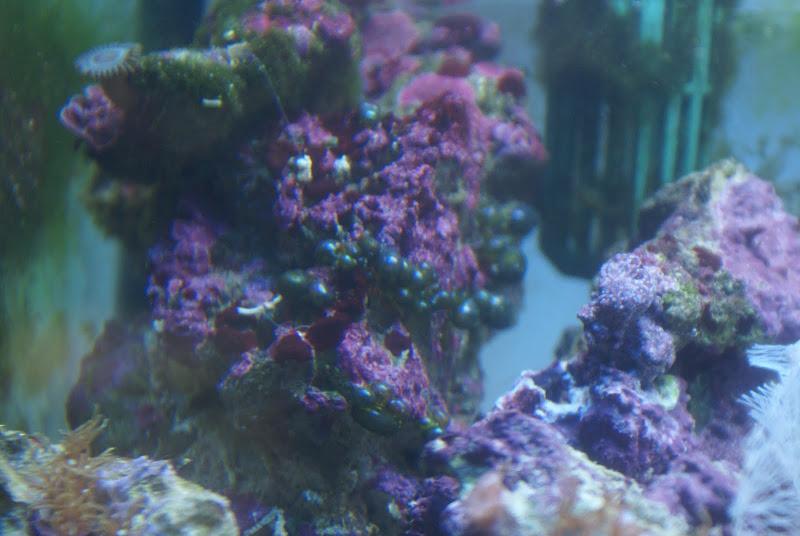 Valonia macrophysa (Sea Pearl) DSC05161