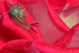 """Snail on a Rose"" by Barbara Lippert -- 2nd Place Digital Special A"