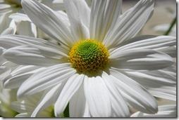 margaritas flores (56)