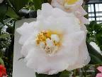 淡桃色 八重〜牡丹咲き 丸弁 肉厚 大輪