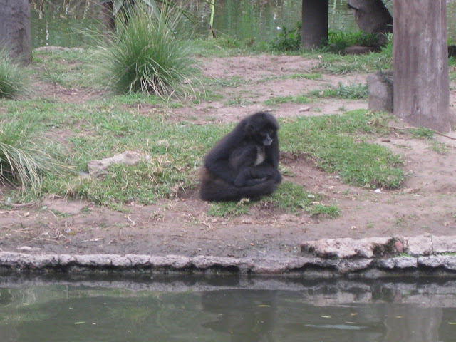 A sad monkey trapped on an island all by himself