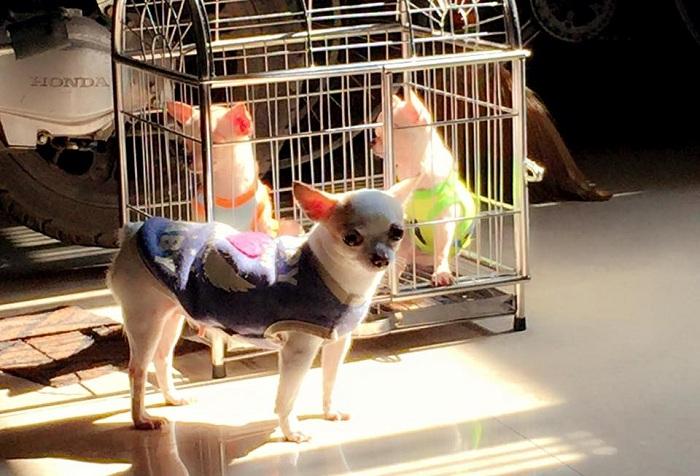 Căn Hộ Chihuahua số 25 - Mua bán chó chihuahua tại hà nội và tphcm