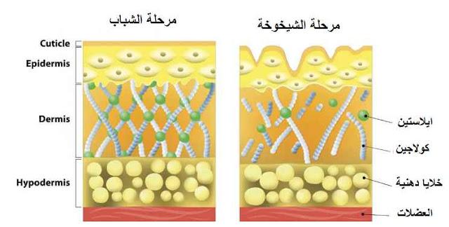 كولاجين الجلد