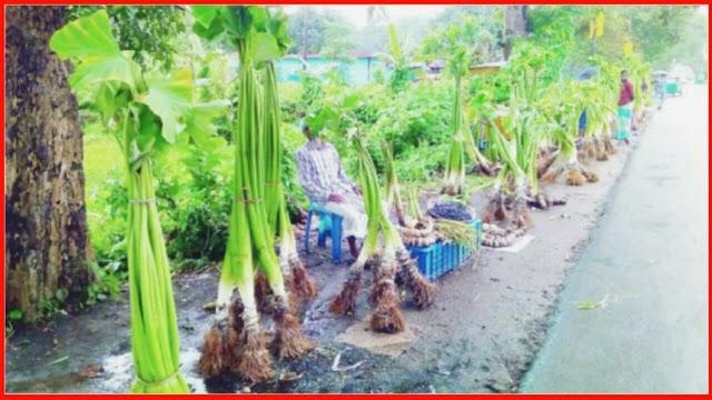 গোলাপগঞ্জের ফুলবাড়ীতে মুড়া কচু চাষে আগ্রহ কমছে চাষীদের