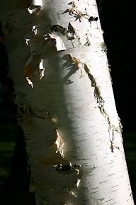 A peeling birch tree