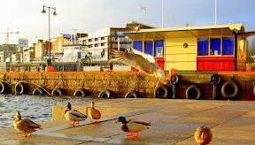 Ducks in Oslo, Norway