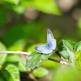 Celastrina argiolus (L., 1758). Les Hautes-Lisières (Rouvres, 28), 5 mai 2013. Photo : J.-M. Gayman