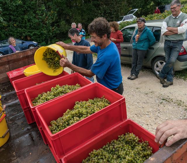 Petites vendanges 2017 du chardonnay gelé. guimbelot.com - 2017-09-30%2Bvendanges%2BGuimbelot%2Bchardonay-217.jpg