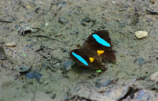 Nessaea batesii magniplaga RÖBER, 1928, mâle. Sentier des Gros Arbres, Saül, 15 novembre 2012. Photo : J.-M. Gayman