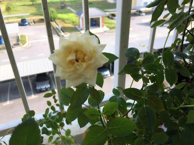 Perkembangan Bunga-Bunga di Mini Garden Cik Rose