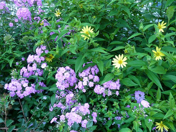 phlox and perennial sunflowers