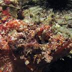 Scorpionfish (Malapascua)