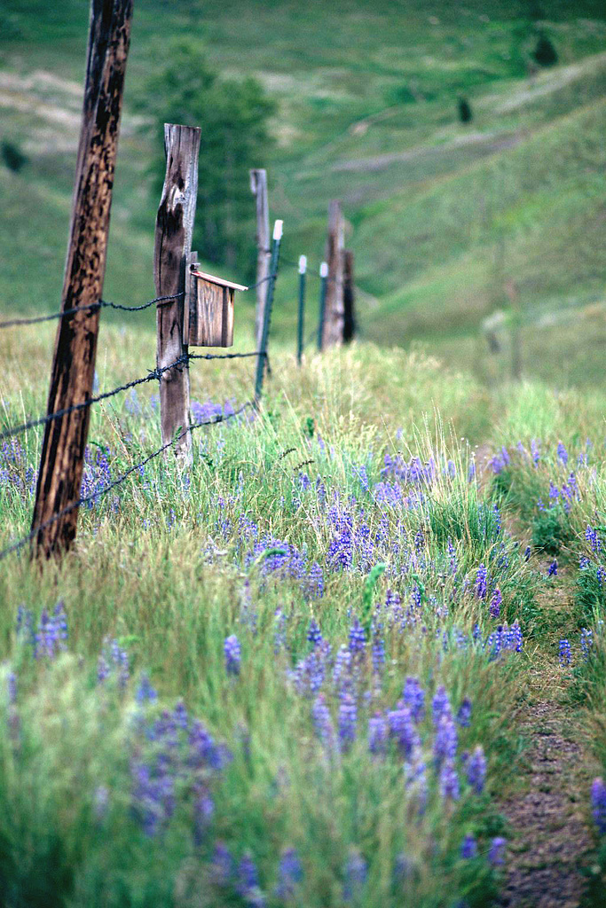 Lupine. ©Matt Rogers http://www.merphoto.printroom.com/