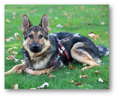 German Shepherd laying down in grass in harness.